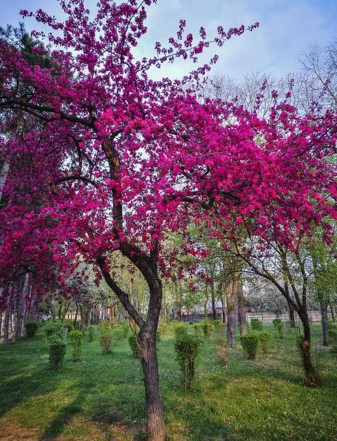 Decorative tree with pink flowers blossomed in spring. Intense pink colored flowers of a blossomed decorative tree in a park , at the beginning of spring royalty free stock image