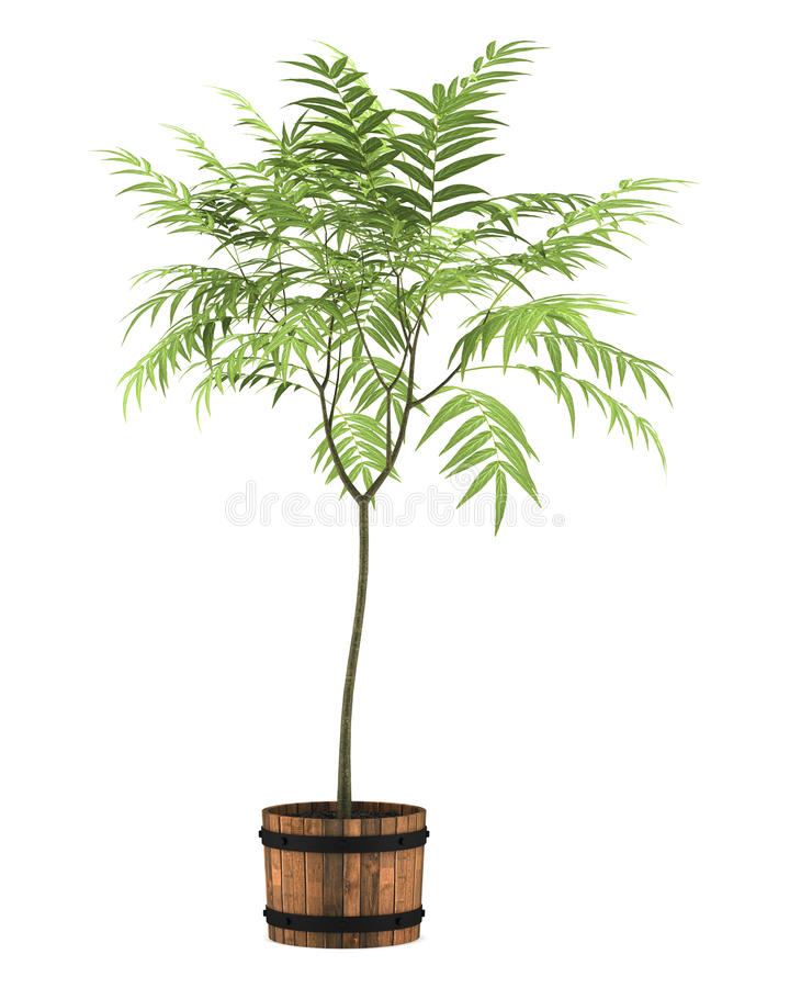 Decorative Tree In Pot Isolated On White Royalty Free Stock Images