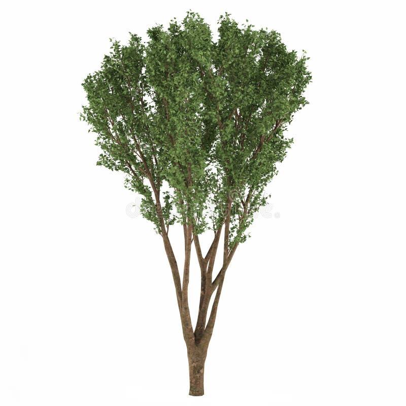 Download Decorative tree stock illustration. Image of subtropics - 36408857