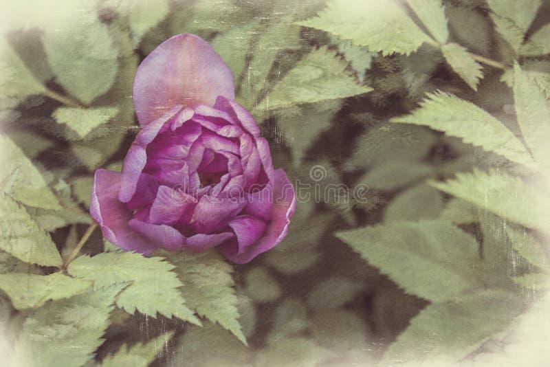 Decorative tulip flower, pink rose, vintage shabby background. Retro card stock images