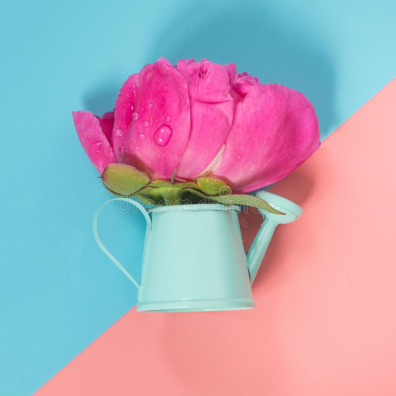 Decorative watering can with pink peony flower on punchy pink and blue. Gardening concept. royalty free stock images