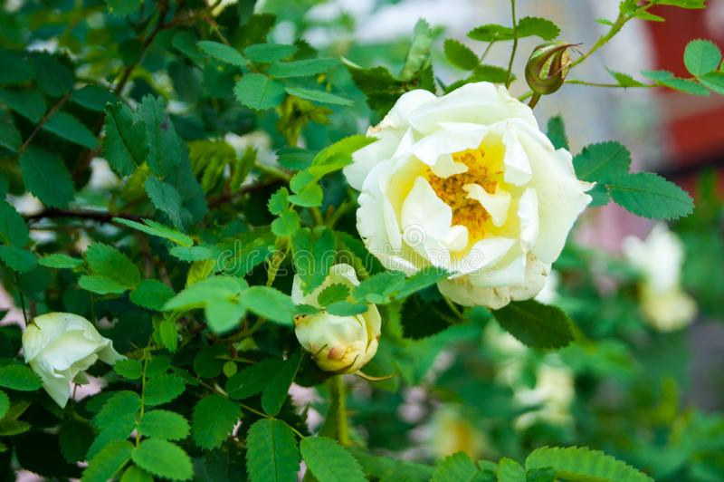 Decorative white terry rose hip, wild rose, white beautiful lonely flower on a background of green leaves royalty free stock image