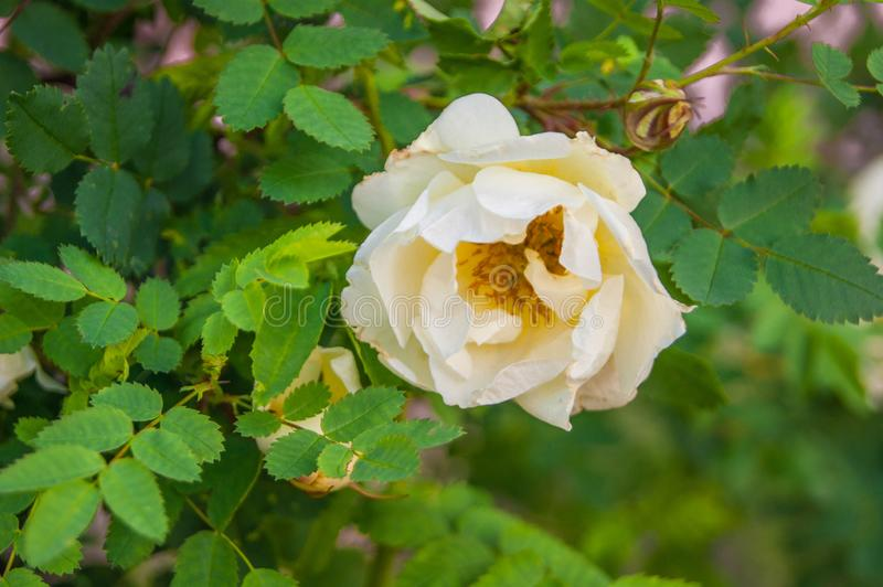 Decorative white terry rose hip, wild rose, white beautiful lonely flower on a background of green leaves stock photo