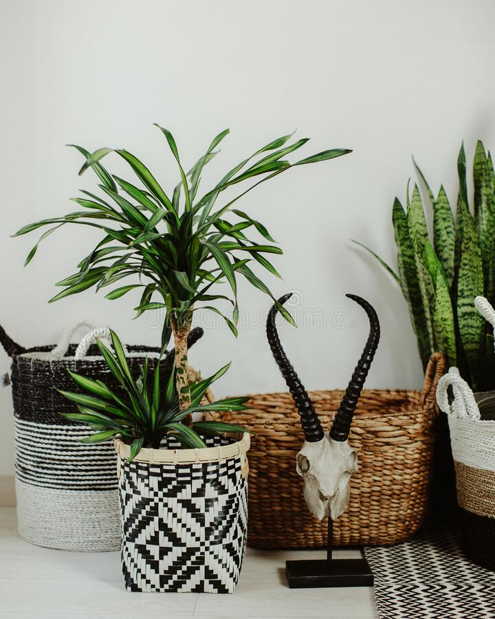 Decorative wicker baskets and green home plant near light wall indoors. Interior design. Decorative wicker baskets and green home plant near light wall indoors royalty free stock photos