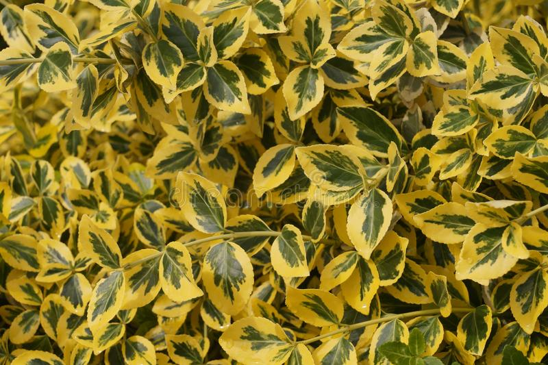 Decorative winter-resistant plant. Euonymus fortunei -common names spindle or Fortune`s spindle, winter creeper or wintercreeper stock photo