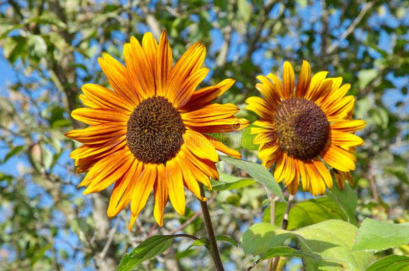 Decorative yellow sunflowers on a Sunny day royalty free stock photos