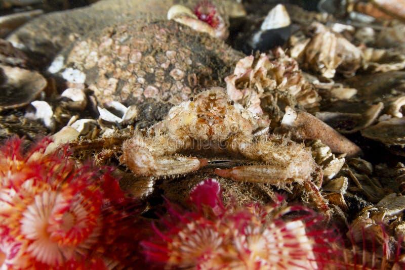 Decorator krab zdjęcie stock
