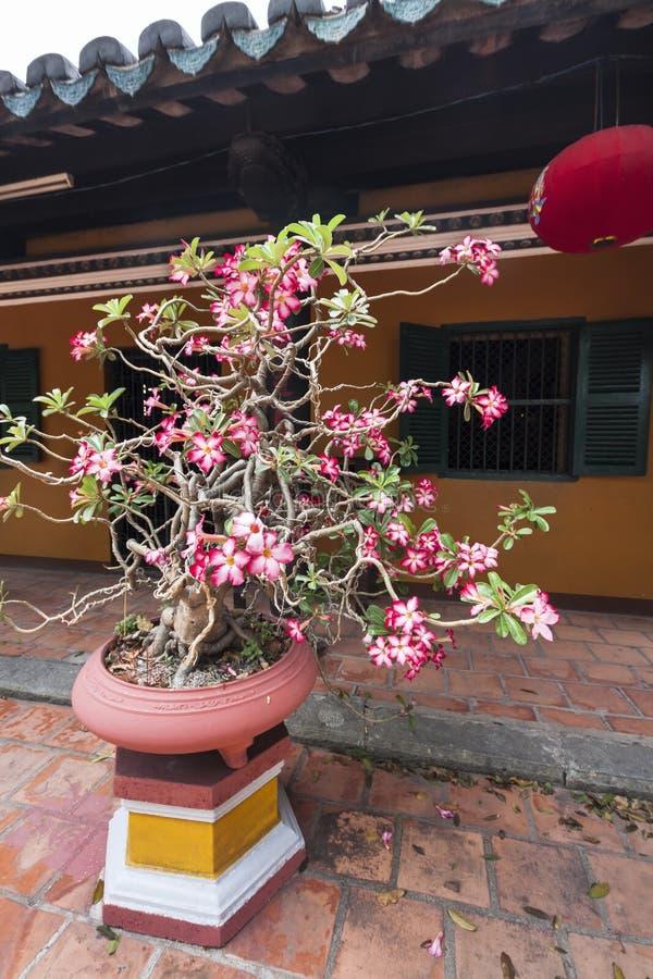 Decorazione dell'albero dei bonsai del fiore davanti alla pagoda di fuga di Giac - Ho Chi Minh, Vietnam, Asia fotografie stock