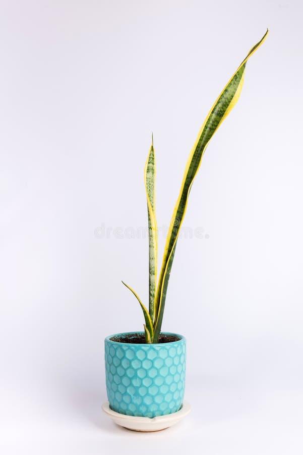 Decorazione interna, trifasciata di sansevieria o isolato della pianta di serpente su bianco immagine stock libera da diritti