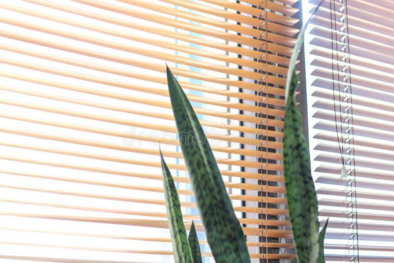 Decorazione interna, trifasciata di sansevieria o isolato della pianta di serpente su fondo bianco immagini stock