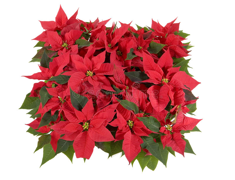 Decorazioni di natale - Poinsettia rosso fotografia stock