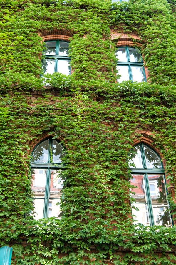 Decorazioni naturali Pianta dell'edera sulla parete di costruzione Le foglie verdi sorgono con le finestre Decorato con l'edera E fotografia stock