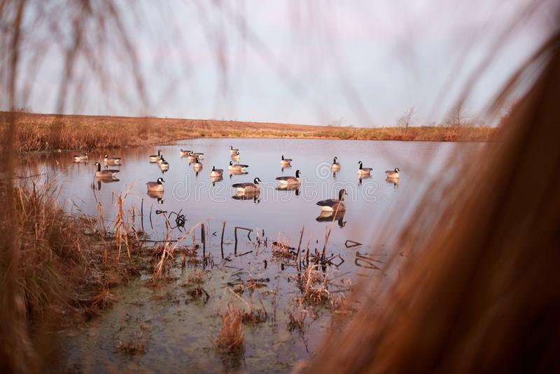 Decoy ducks на спокойном озере осмотренном от тайника стоковое фото rf