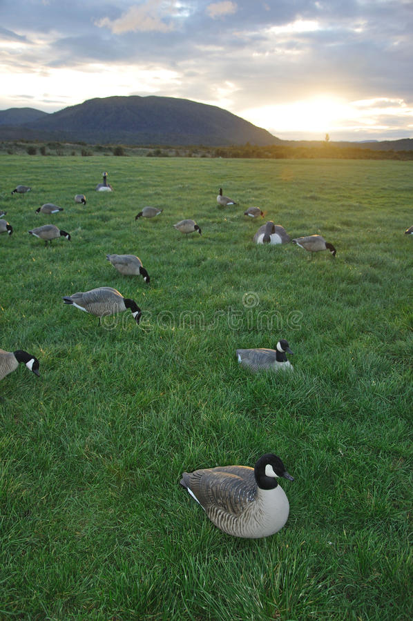 Decoys spread out. Decoys of Canada Geese, West Coast, South Island, New Zealand royalty free stock photo