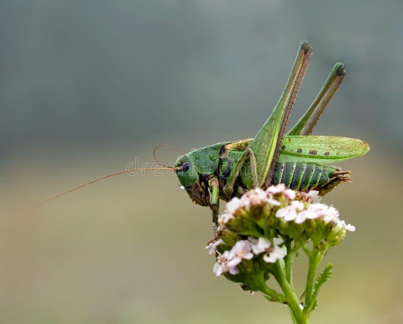 decticus蚂蚱verrucivorus 库存图片