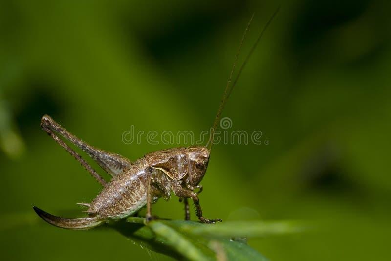decticus verrucivorus 免版税库存照片