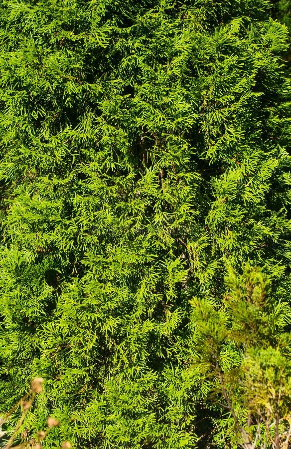 Decurrens för Calocedrus för rökelsecederträträd förgrena sig tätt upp royaltyfri bild