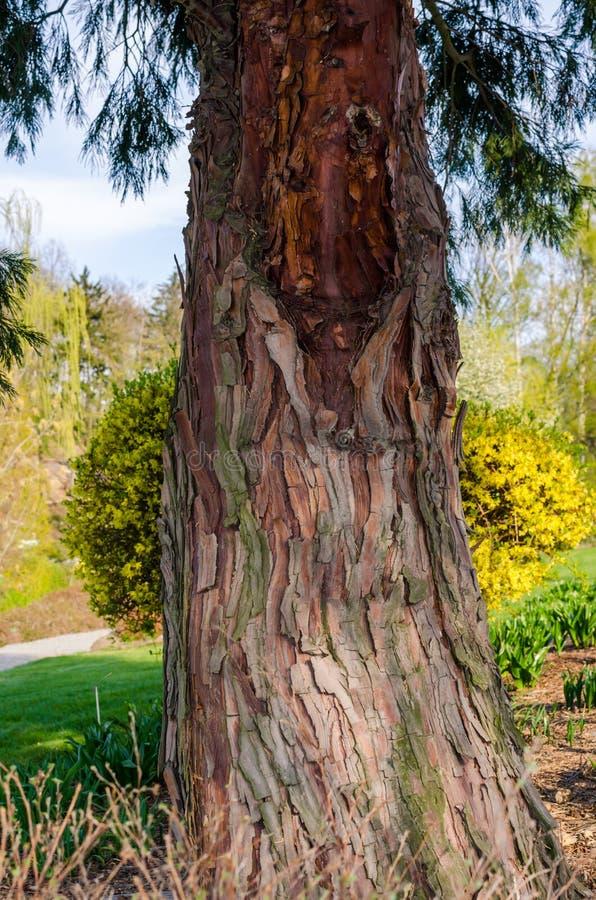 Decurrens TORREY FLORIN, Calocedrus, cedro del CALOCEDRUS di incenso Albero in botanica in Niemcza, Polonia fotografie stock libere da diritti