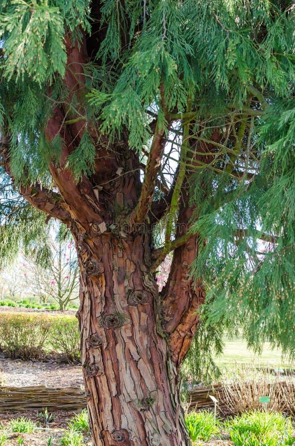 Decurrens TORREY FLORIN, Calocedrus, cedro del CALOCEDRUS di incenso Albero in botanica in Niemcza, Polonia immagini stock