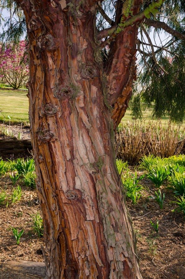 Decurrens TORREY FLORIN, Calocedrus, cedro del CALOCEDRUS di incenso Tronco di albero in botanica in Niemcza, Polonia fotografia stock libera da diritti
