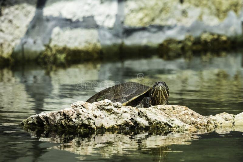 Decussata cubain de Trachemys de glisseur, indigène de tortue au Cuba - le parc national de Peninsula de Zapata, Cuba photographie stock