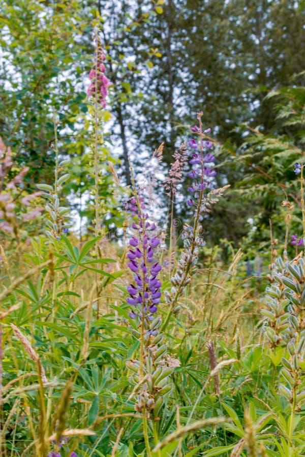 dedalera púrpura floreciente imagen de archivo