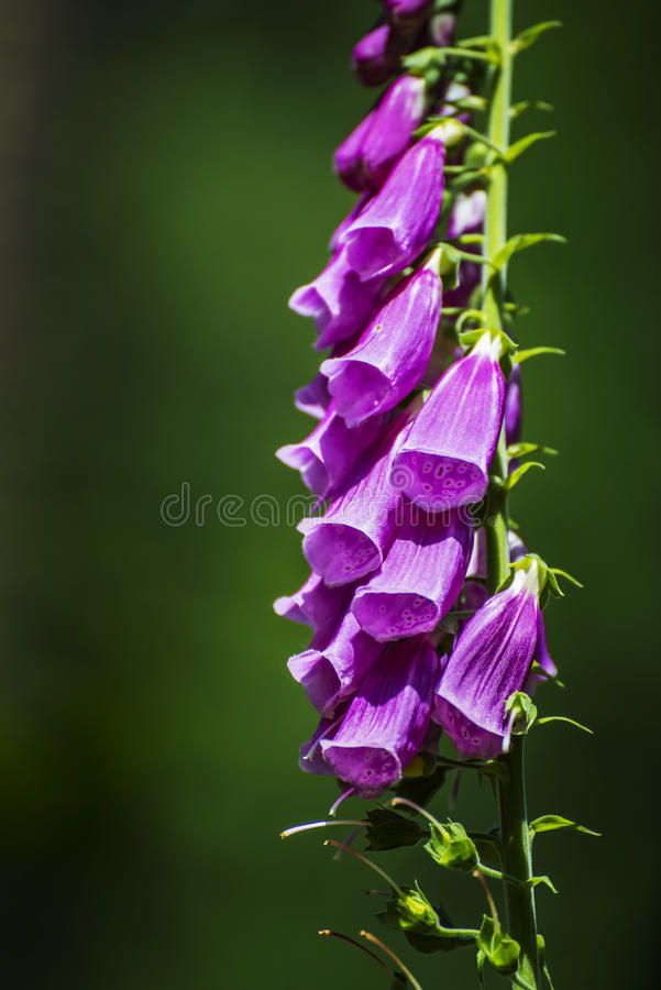 Dedalera púrpura, purpurea de la digital foto de archivo libre de regalías