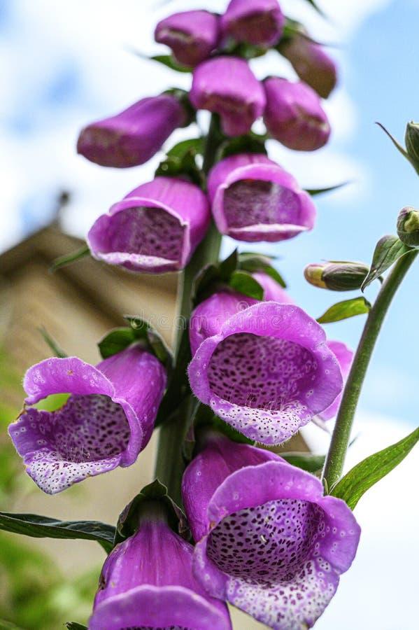 Dedalera - purpurea de la digital foto de archivo