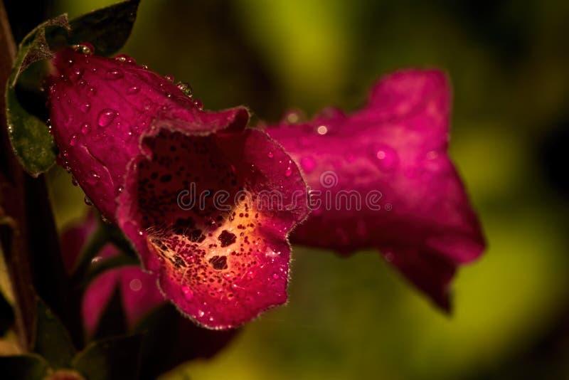 Dedalera roja en la lluvia foto de archivo libre de regalías