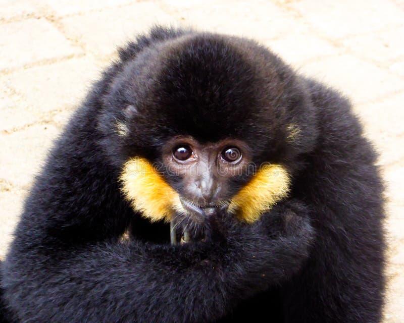 Dedo cortante com crista do Cao-vit Gibbon imagens de stock