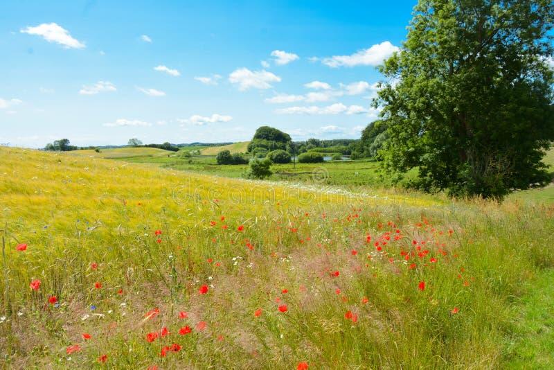 Deens de zomerlandschap stock foto's