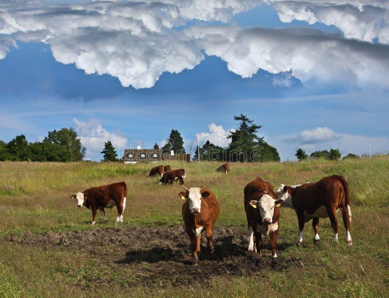 Deense koeien stock afbeelding