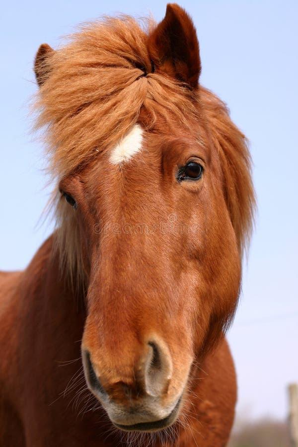 Deense paarden stock afbeelding