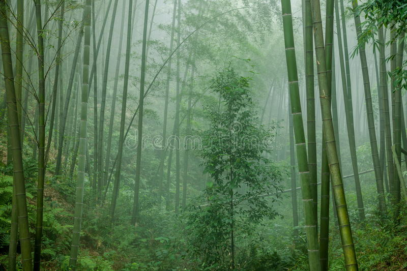 Deep Bamboo Forest in the Bamboo Sea Area of royalty free stock images