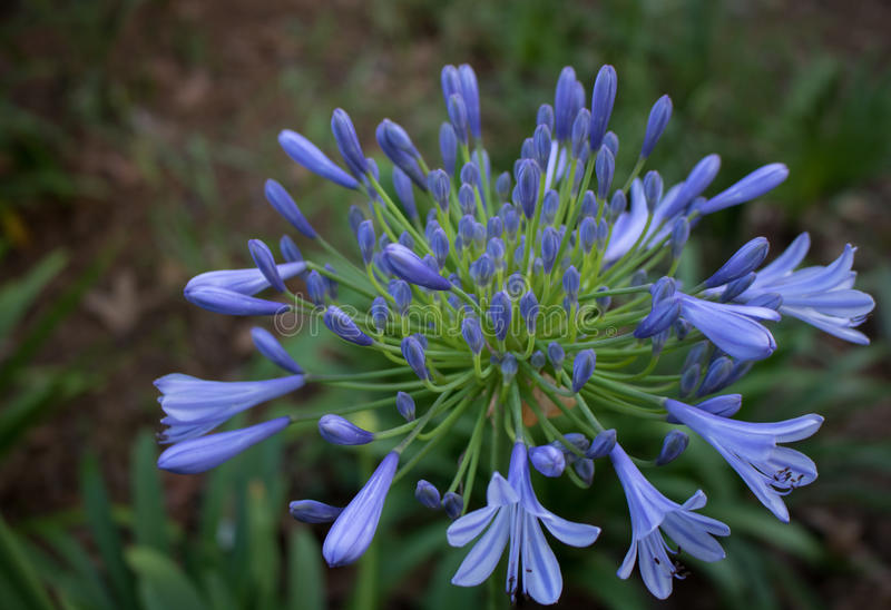A deep blue `Nile Lily` flourishes in this lush green Florida park. royalty free stock photos