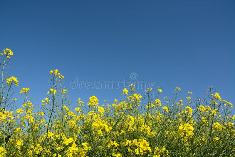 Blue sky, yellow rapeseed blossom. Deep blue sky highlighting the bright yellow flowers of the rape blossom. Rapeseed Brassica napus, also known as rape royalty free stock images