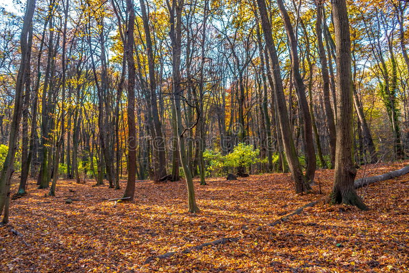 Deep in colorful autumn forest in November, Bratislava, Slovakia stock photography