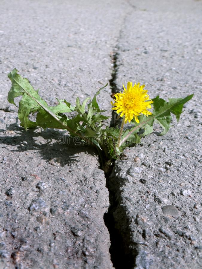 Deep crack on the asphalt. Blooming dandelion growing in the crack of a asphalt road. Closeup. Deep crack on the asphalt. Blooming dandelion growing in the stock images