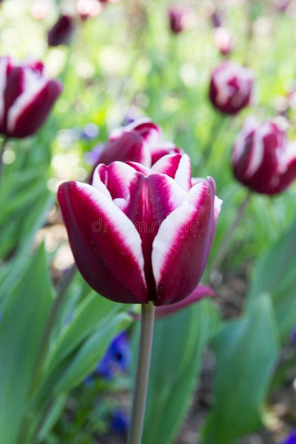 Deep Dark Red And White Tulip Stock Photo - Image of garden, design ...