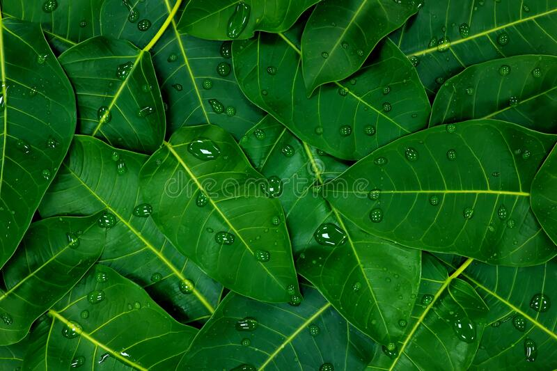 Deep and dark saturated green leaves background wallpaper with water droplets. Flat lay design composition stock images