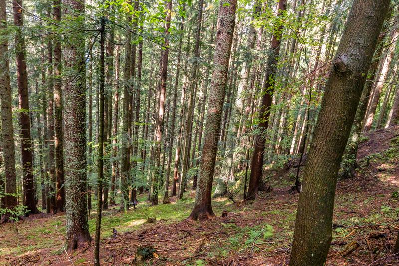 Deep dense forest trees. royalty free stock image
