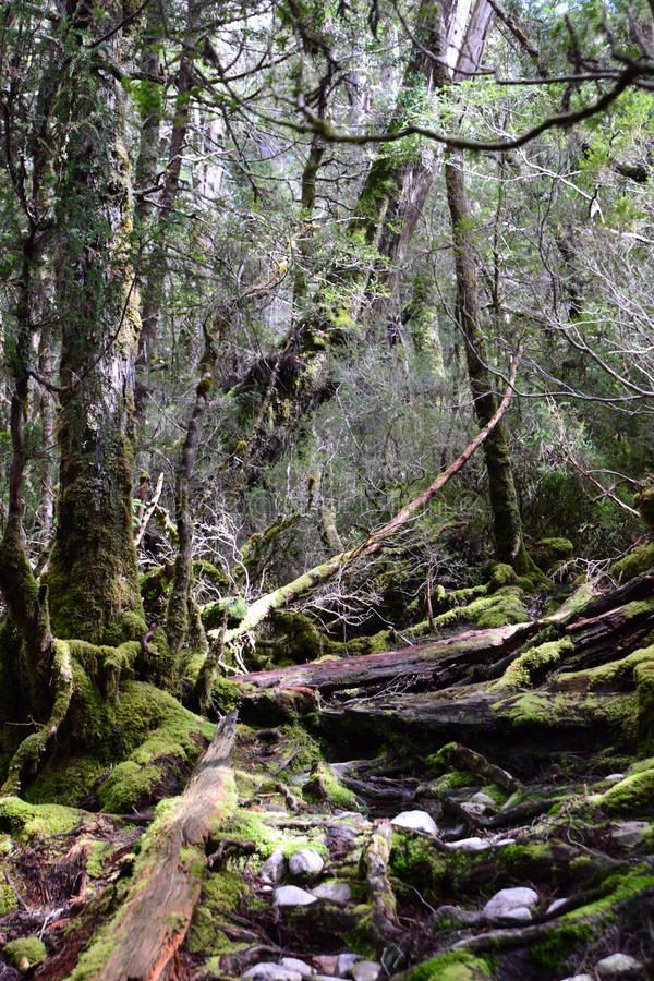 Deep Forests, Tasmania royalty free stock images