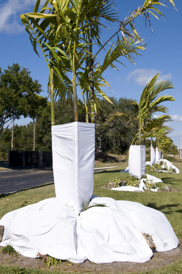 Deep Freeze Coming. Sheets covering base of palm trees to protect from frost and freeze in Florida stock photo