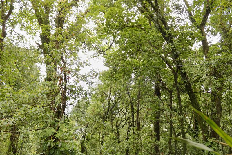Deep green forest in Sikkim India. Deep green forest with long trees with branches in Sikkim India royalty free stock photos