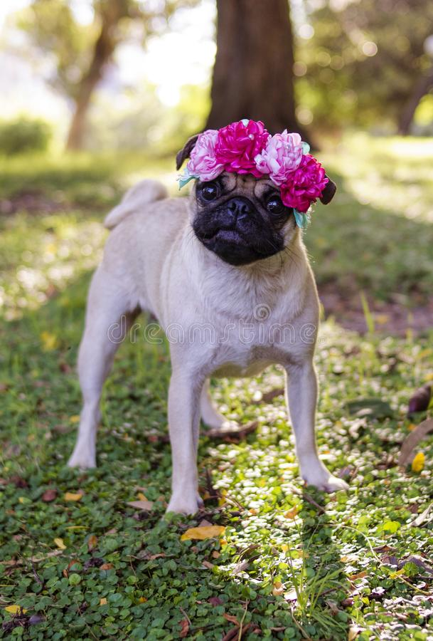 Beautiful Pug puppy with tender eyes royalty free stock images