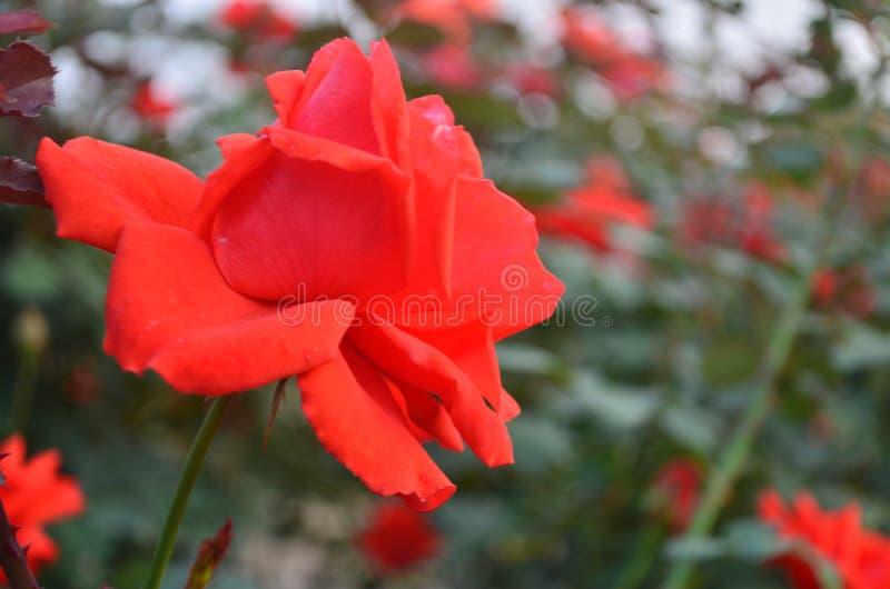 Deep orange rose royalty free stock image