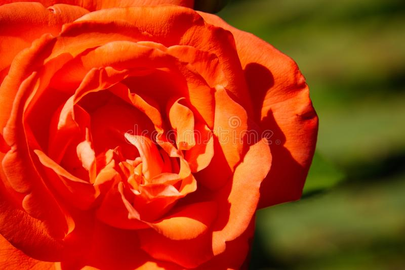 Close up of orange tea rose. Deep orange tea rose closeup on a sunny summers day in England stock images