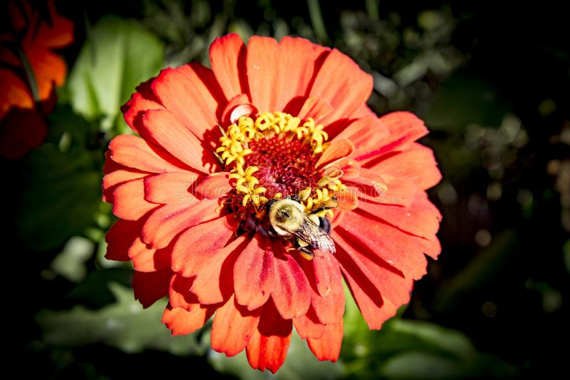 Deep orange. yellow petal flower in sunshine with bumble bee collecting necter. Round Orange,yellow center petal flower in sunshine with bumble bee collecting royalty free stock photography