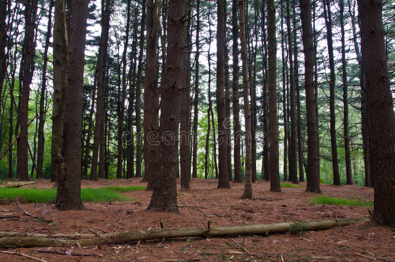 Download Deep in the Pine Forest stock image. Image of woods, quiet - 26503253