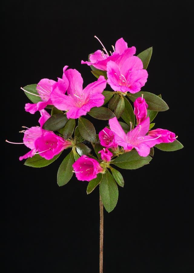Deep pink azalea flowers stock photo image of blooming 53208000 download deep pink azalea flowers stock photo image of blooming 53208000 mightylinksfo Image collections